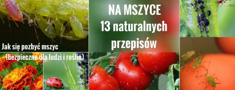zdrowie.hotto.pl-mszyce-na-pomidorach-domowe-sposoby